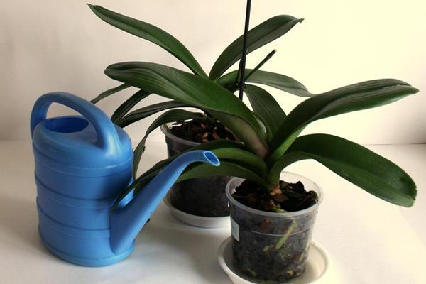 Полив орхидей лейкой