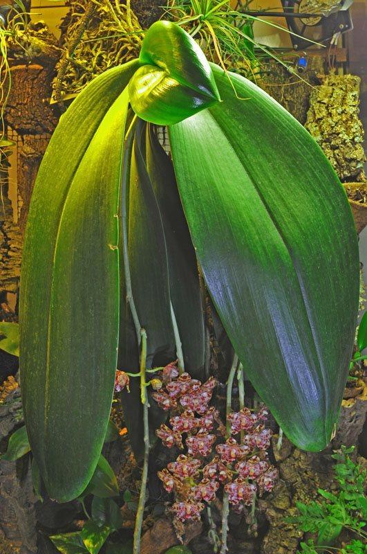 Разновидность орхидеи Гигантский