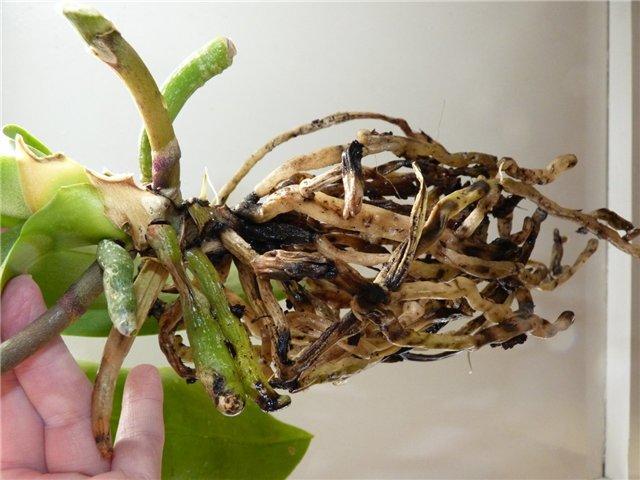 Проблемные корни у цветка орхидеи