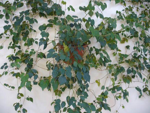 Комнатное растение - циссус, или березка