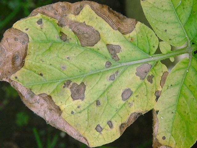 Ржавчина на домашних растениях