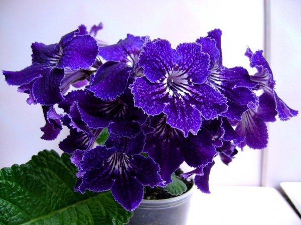 Стрептокарпус - домашнее экзотическое растение