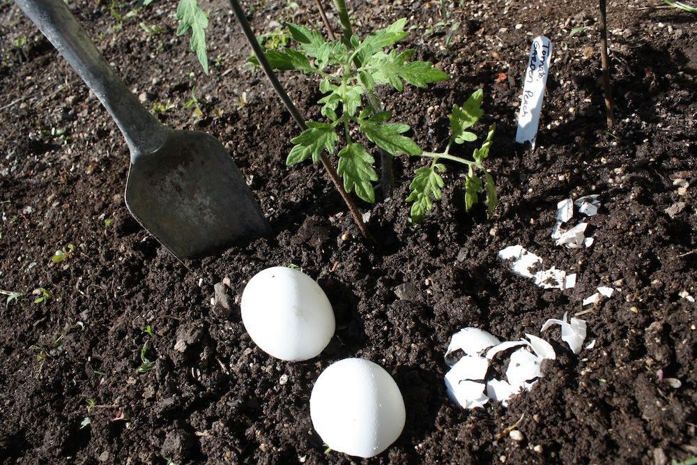 Использование скорлупы при посадке на огороде