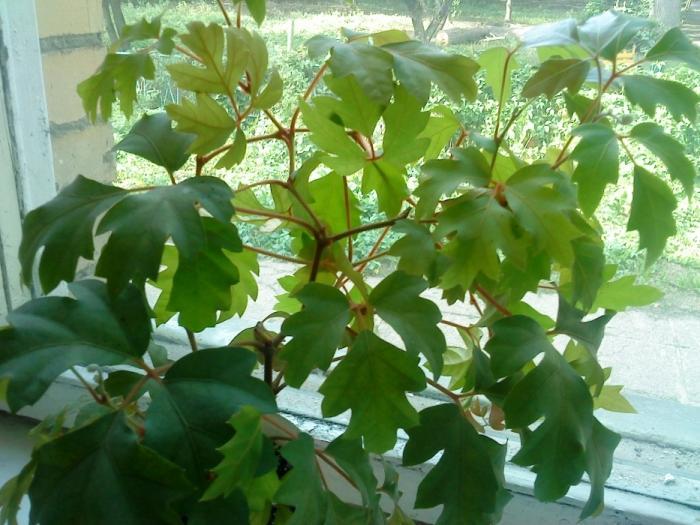 Выращивание комнатного растения на подоконнике