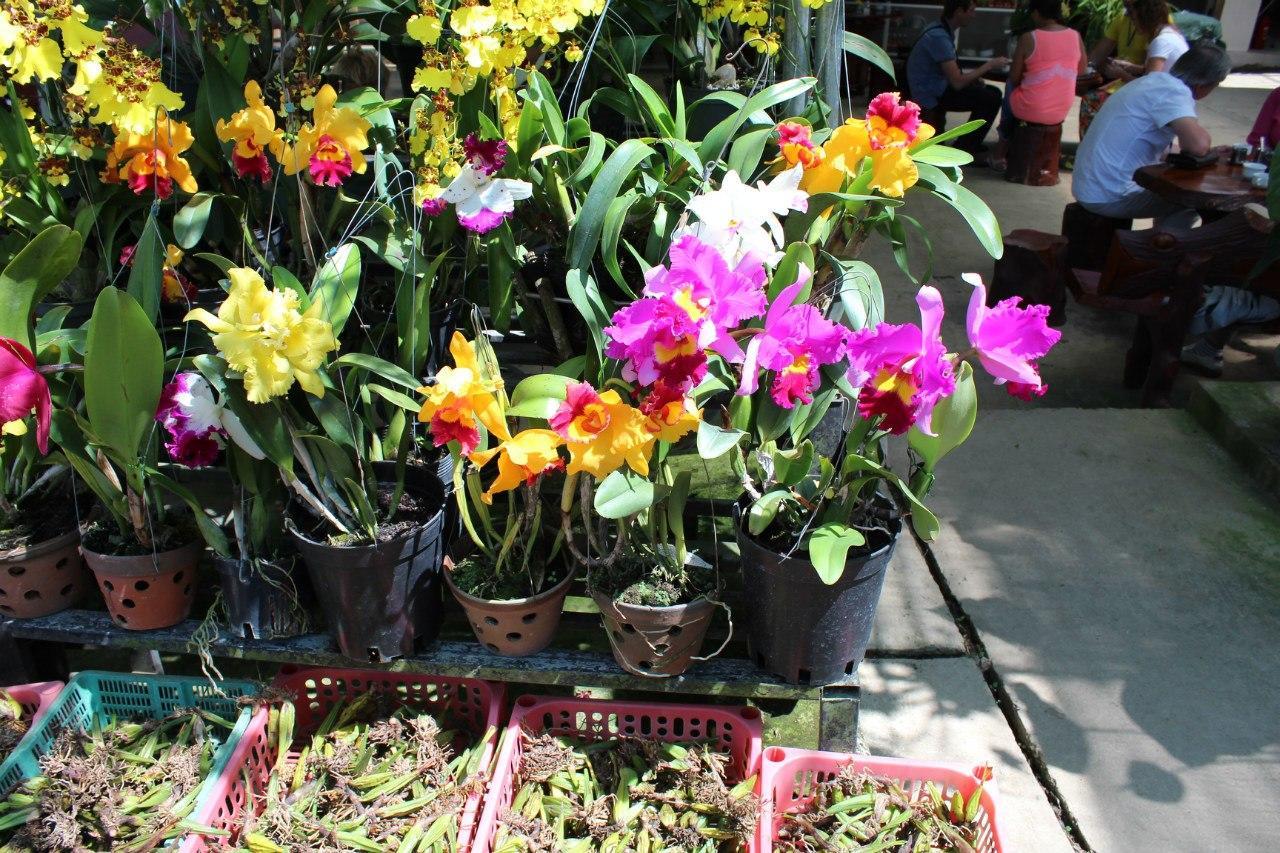 Посадка орхидей луковицами
