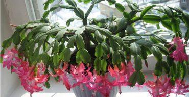 Цветок декабрист в домашних условиях