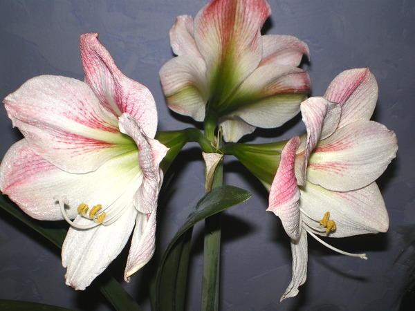 Амарилис Беладонна - комнатное растение