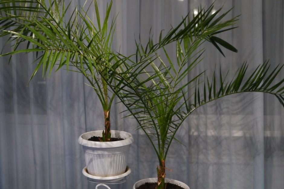 Выращивание финиковой пальмы в домашних условиях