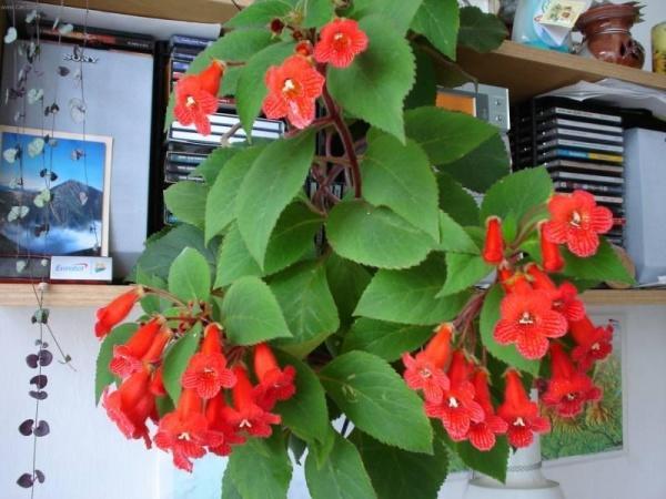 Домашний цветущий цветок Колерия
