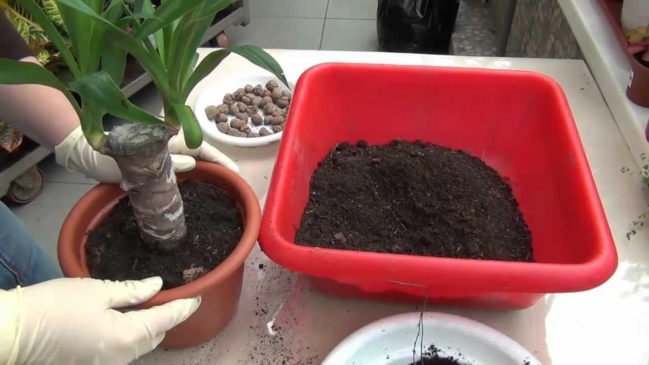 Процесс пересадки домашней пальмы