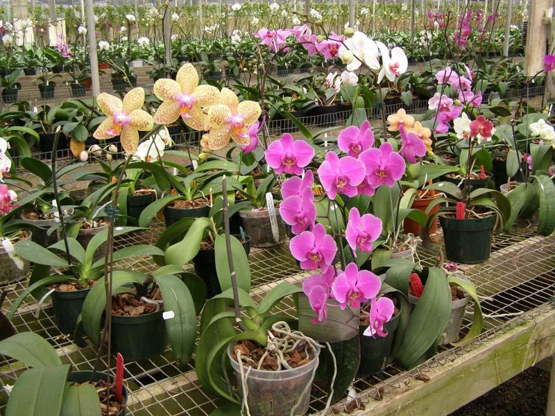 Выращивание орхидей в оранжереях