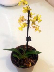 Помогите определить орхидеию