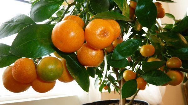 Плоды домашнего мандарина имеют декоративное назначение