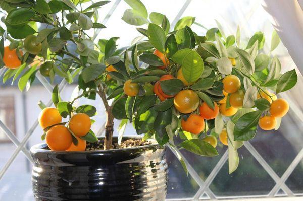 Апельсины дома выращивают довольно редко