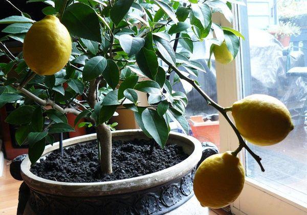 Среди комнатных растений часто встречается лимонное дерево
