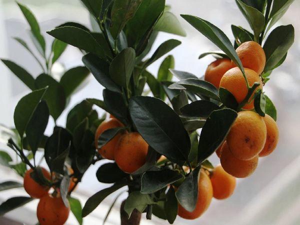 Плоды из магазинного деревца каламондин не съедобны
