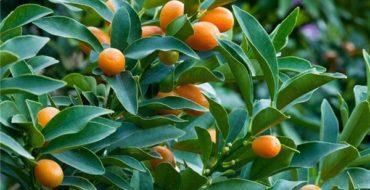 Кумкват - экзотическое цитрусовое растение