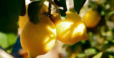Комнатный лимон – желанный гость в домах
