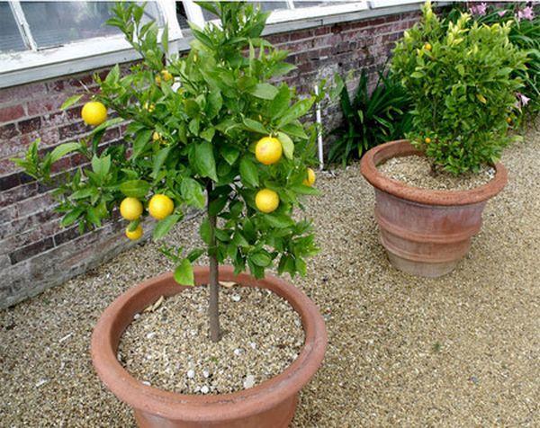 Обрезка лимона нужна для формирования кроны