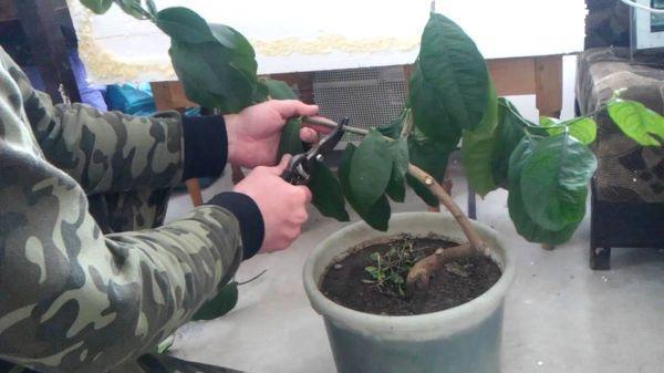 Подрезку и прищипывание проводят в вегетационый период