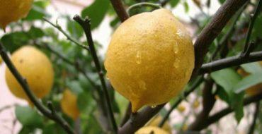 Лимон – это полезный витаминный фрукт