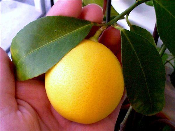 Помесь апельсина и лимона - лимон Мейера