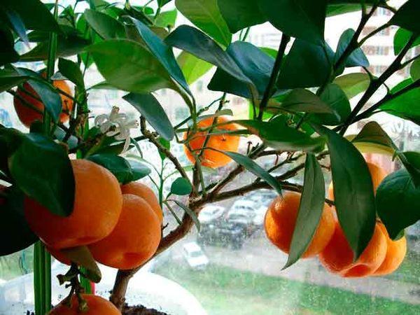 Популярный сорт мандарина Уншиу