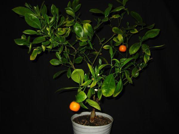 Мандариновое дерево нуждается во внесении подкормок