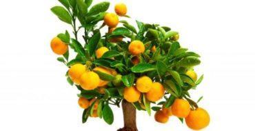 Плоды мандарина ценятся за богатый вкус
