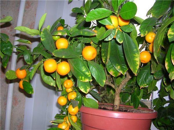 В домашних условиях можно вырастить очень плодовитый мандарин