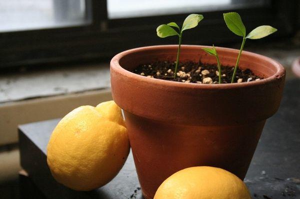 Какая должна быть земля для лимона