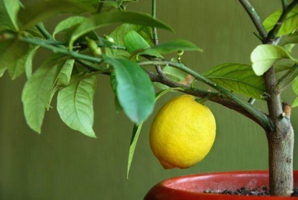 Для лимона используют специальные почвенные смеси