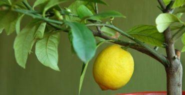 Комнатный лимон необходимо удобрять