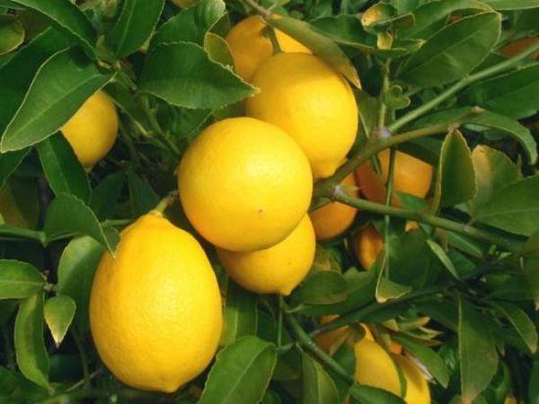 Лимон удобряют для хорошего роста и цветения