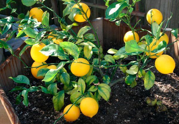 При правильном уходе цитрусовое даст много плодов