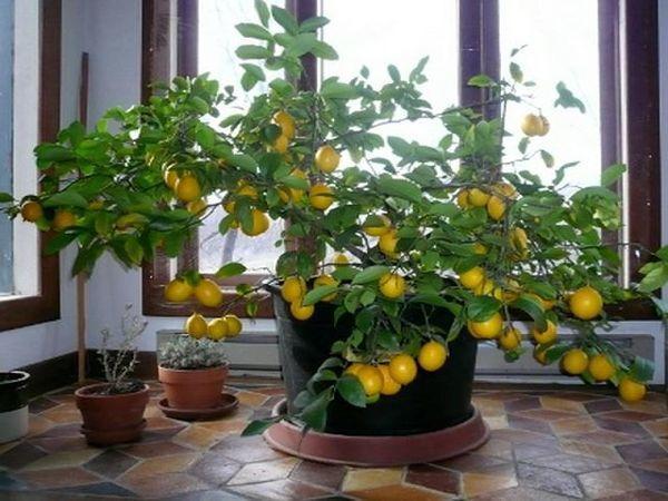 Правильный уход влияет на плодоношение лимона
