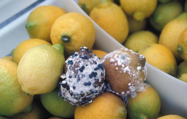 Самым опасным заболеванием лимона является рак цитрусовых