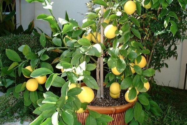 Правильно проведенная подкормка защищает лимон от болезней