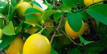 У домашнего лимона периодически желтеют листья