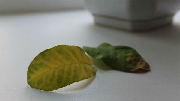 Листья лимона могут желтеть из-за недостатка света