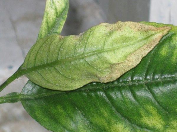 Желтизна листьев возникает из-за нарушения режима полива