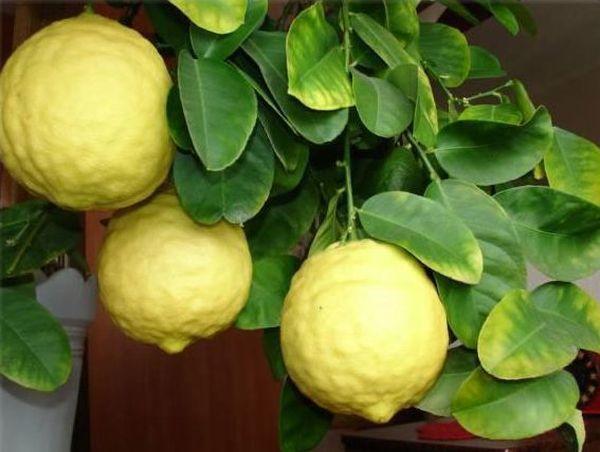 Также листья желтеют из-за нарушениям температурного режима