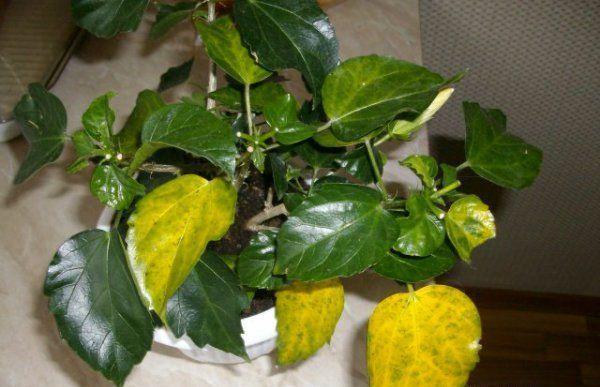Грибковых инфекций лимона приводят к желтизне листьев