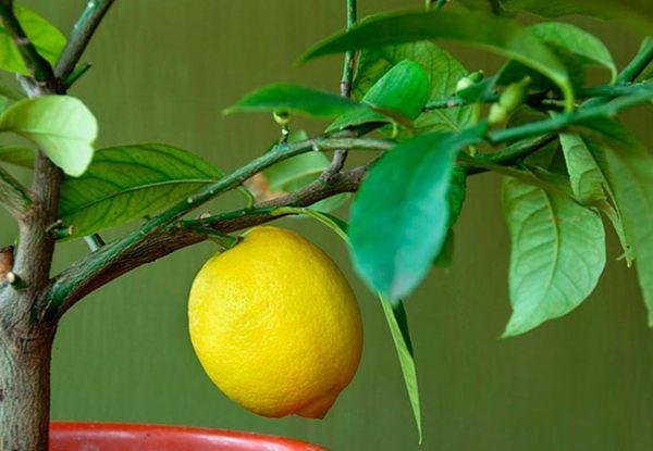 Лимон болезненно переносит смену обстановки