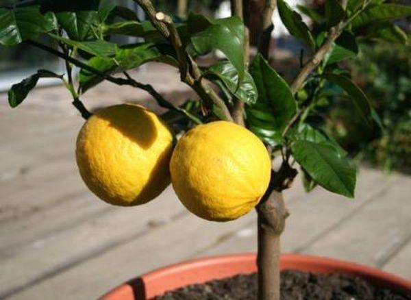 Уход за лимоном включает регулярные подкормки