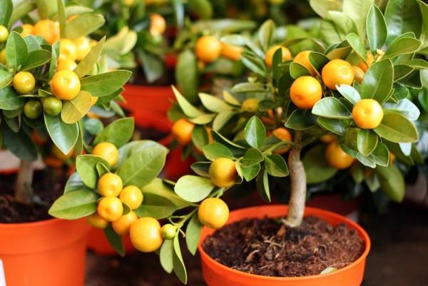 Прививать мандарины рекомендуется в апреле - мае