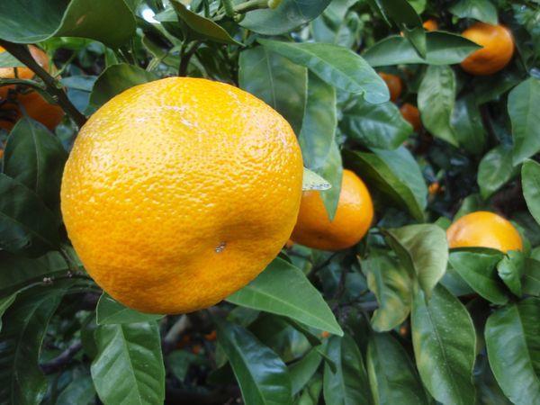 Citrus unshiu – самая древняя и обширная группа
