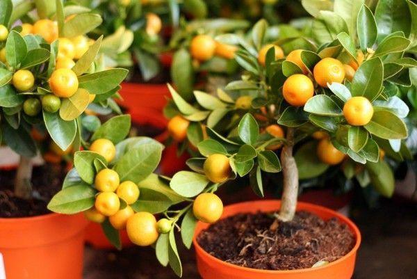 Апельсиновое дерево не любит высоких температур