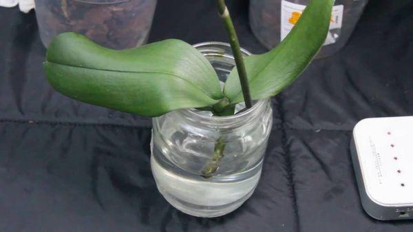 Теоретически орхидея может отрастить корни в воде
