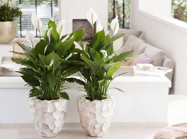 Спатиффилум - яркое зеленое растение